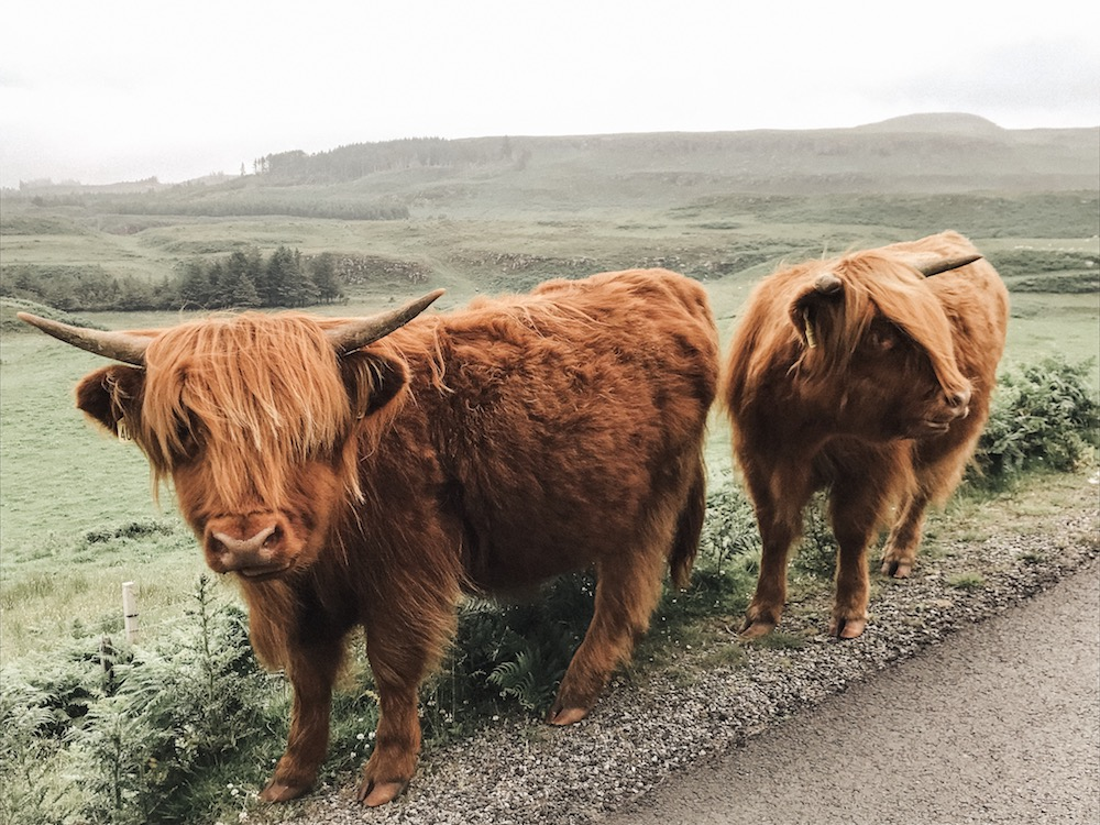 two highland cattle